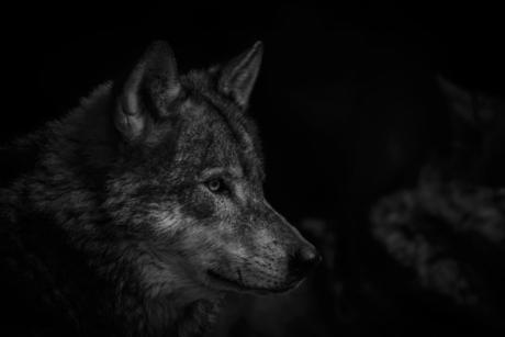 de wolf in z/w .