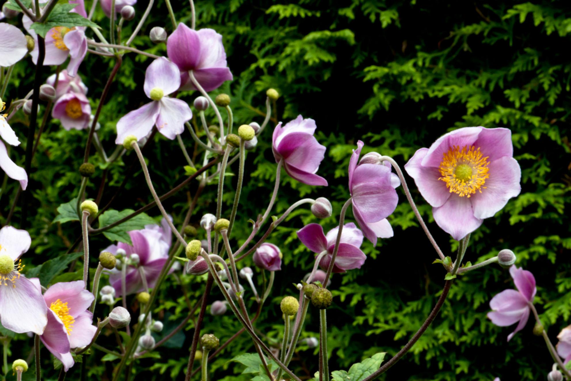 La Fleur... - Gevonden in mijn tuin..  Gemaakt met een 18-135 mm lens.  Uiteraard op statief. - foto door Roy.vanOmmen op 17-08-2011 - deze foto bevat: roze, bloem, lente, natuur, geel, herfst, winter, zomer, lelystad, statief, heg, 500d - Deze foto mag gebruikt worden in een Zoom.nl publicatie