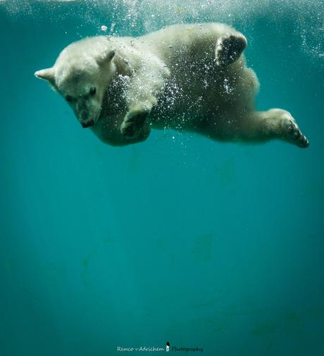 Jonge ijsbeer maakt een duik.