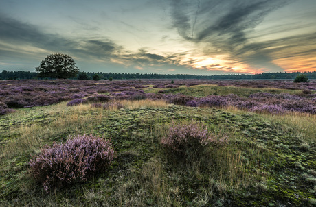 The Blooming Heather 2