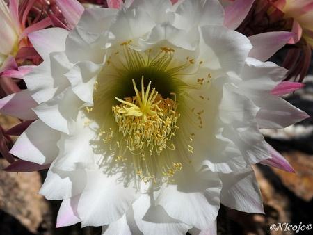 Koningin van de nacht. - Bedankt voor al jullie adviezen en reacties op mijn vorige upload.  Vanaf vandaag mogen we weer een wandeling buiten de deur maken van max 1 km, de  - foto door ocelot_zoom op 02-05-2020 - deze foto bevat: bloem, lente, natuur, tuin, spanje, nicojo, koningin van de nacht