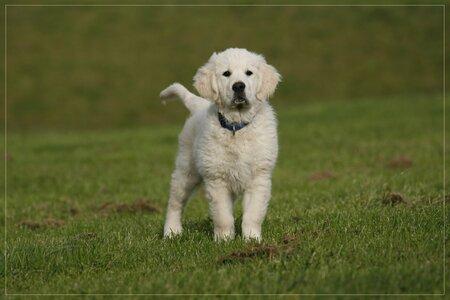 puppy power - Hoi allemaal Alweer een foto van onze Bogyi. Het is zo'n heerlijk ventje en een uitdaging om hem er mooi op te krijgen.  Groetjes Evert - foto door Evert61 op 30-11-2009 - deze foto bevat: natuur, dieren, hond, honden, golden, retriever, pup, puppie, goldenretriever