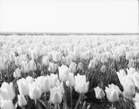 Tulpen in zwartwit