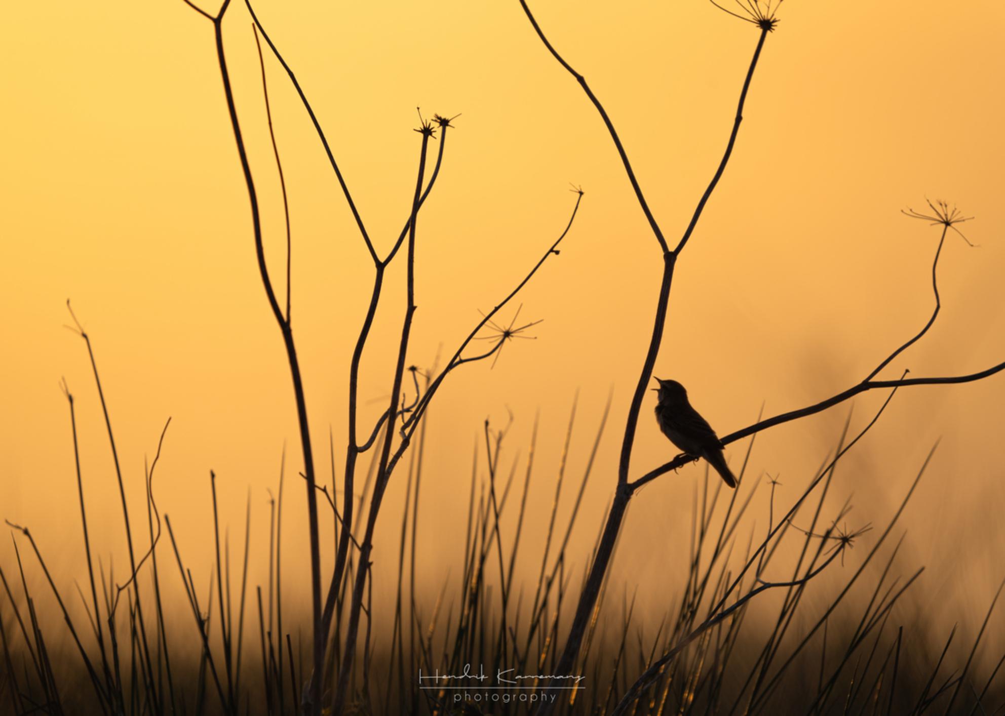 Rietzanger silhouette - - - foto door Hendrik1986 op 25-05-2020 - deze foto bevat: water, dieren, vogel, zonsopkomst, watervogel, wildlife, zangvogel