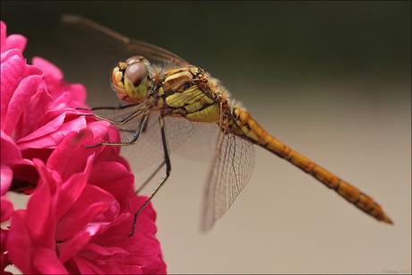 Libelle in de rozentuin