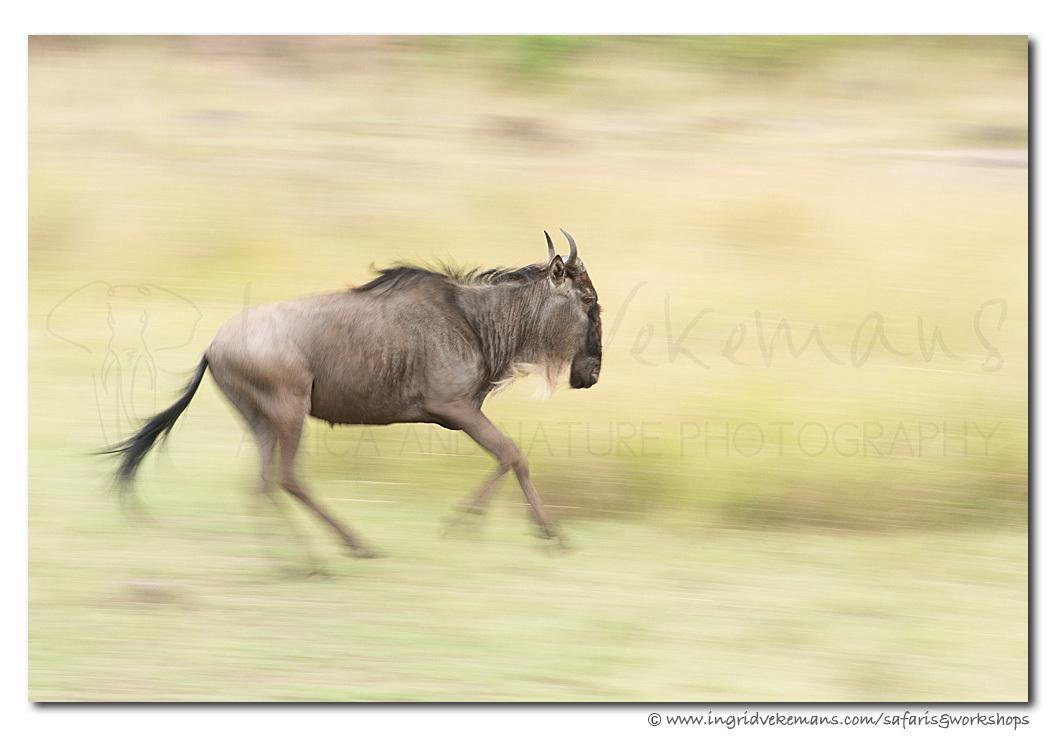 Running Wild - RUNNING WILD - Masai Mara, Kenia  Je moet er soms wat geduld voor hebben, maar als er één gnoe begint te rennen, gaan ze allemaal (het woord 'kudde - foto door IngridVekemans op 02-05-2020 - deze foto bevat: panning, natuur, dieren, safari, gnoe, afrika, wildlife, workshop, migratie, workshops, fotoreis, masai mara, fotoreizen, fotosafari, fotosafari's, www.ingridvekemans.com