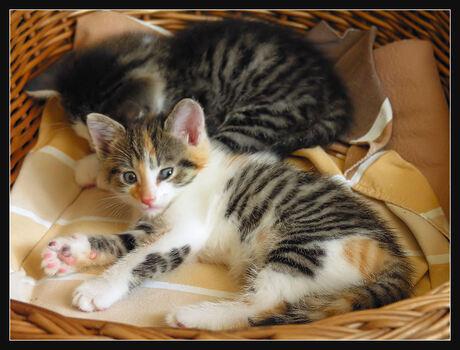 7 Weeks Old Kittens