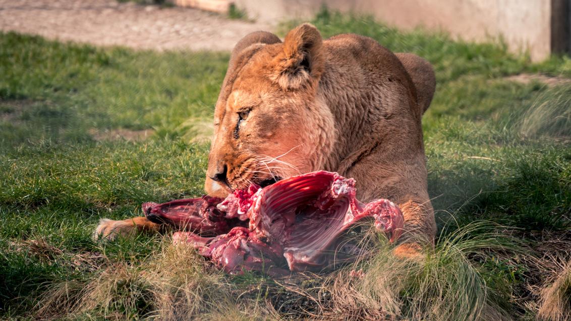 Lekker happie eten - Etenstijd - foto door MigiloDiPilo op 12-03-2016 - deze foto bevat: eten, rotterdam, dierentuin, dieren, tijger, blijdorp
