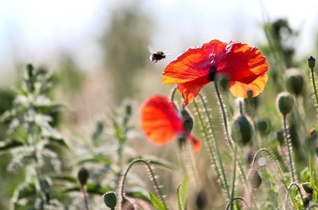Bee meet poppy