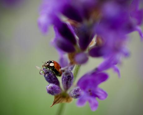 Lavender lady bug
