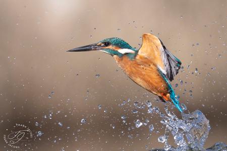 Hoplaaa - - - foto door frankjacobs op 01-03-2021 - deze foto bevat: water, natuur, dieren, vogel, watervogel, nikon, wildlife, ijsvogel, frank jacobs, frankjacobs, nikon d5