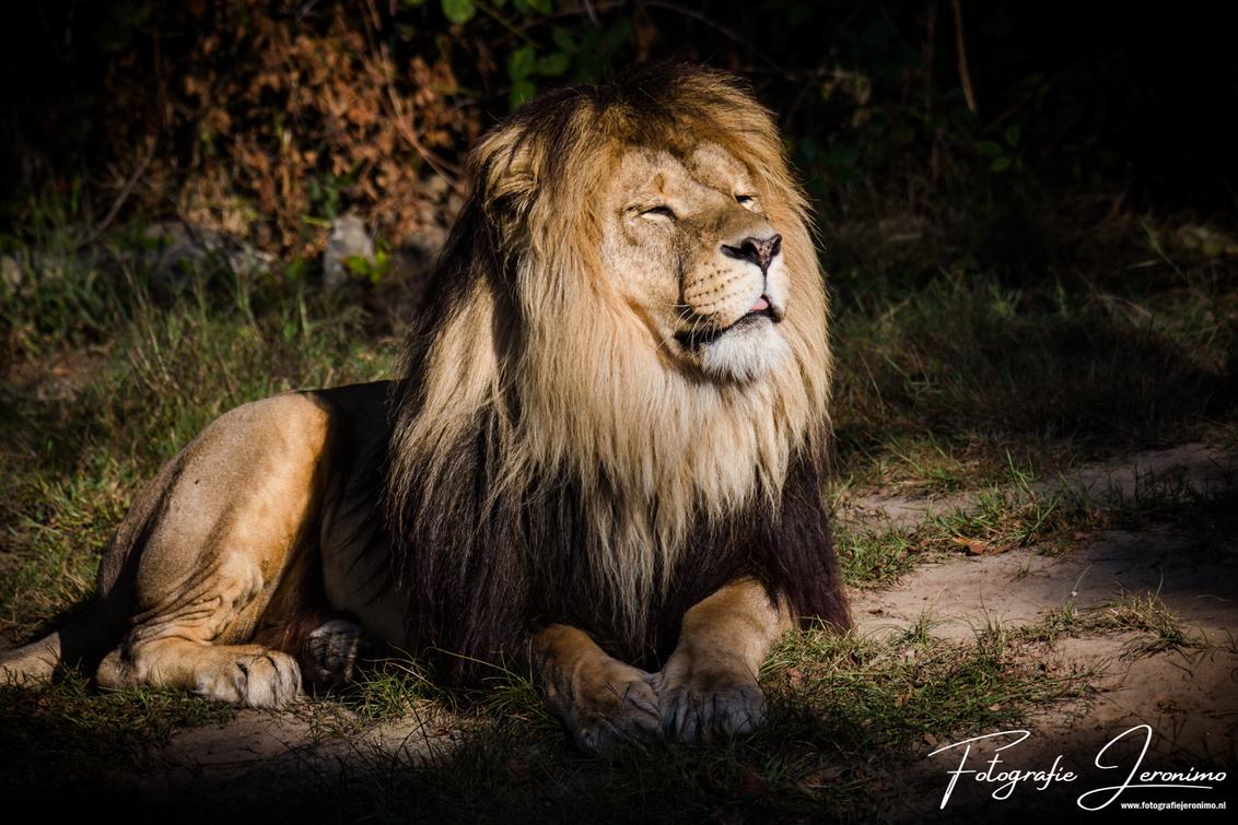 Lekker chillen in de zon - In deze nazomer is het heerlijk om nog van de laatste zonnestralen te genieten. Dat dacht deze prachtige leeuw vast ook en zo genoot ik van het momen - foto door FotografieJeronimo op 11-09-2020 - deze foto bevat: zon, dierentuin, natuur, portret, dieren, safari, zomer, leeuw, afrika, wildlife, fotografie, wildernis, Jeronimo