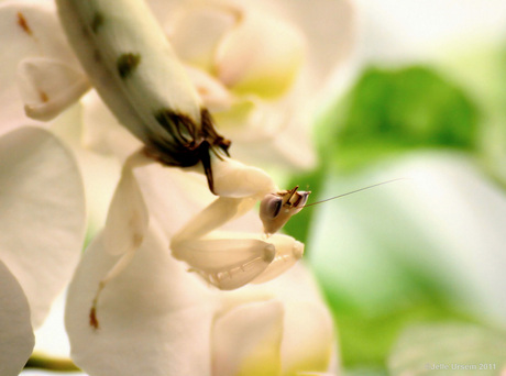 Cloaked mantis on orchid