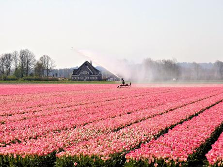 Noord-Hollands bollenveld