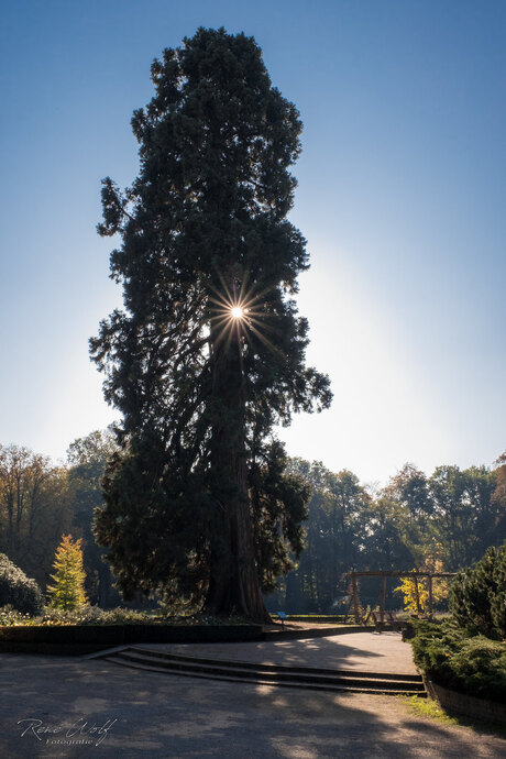 Mammoetboom (Sequoia) in het Ledeboerpark