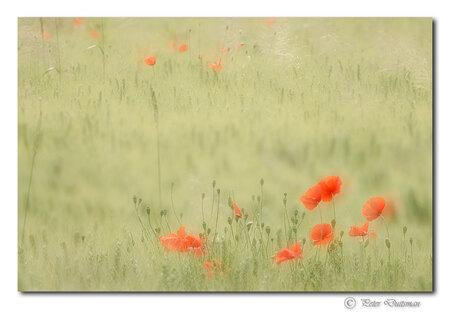 A little bit of spring - ..dubbele opname ìn-camera - foto door Peter-D- op 12-12-2015 - deze foto bevat: lente, natuur, klaproos, voorjaar, veld, poppy, meervoudige belichting, multiple exposure