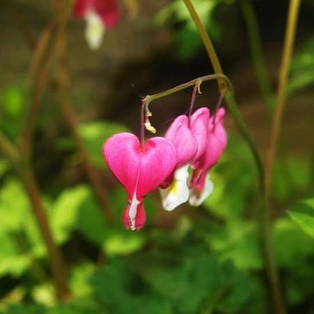 Gebroken hartje - - - foto door Morolli op 31-10-2017 - deze foto bevat: bloem, tuin