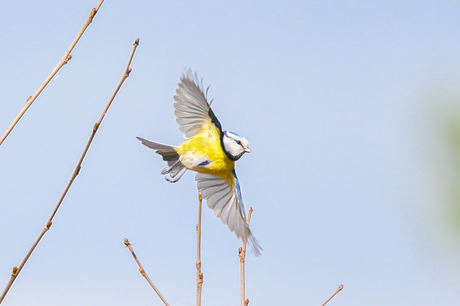 Vliegende Pimpelmees