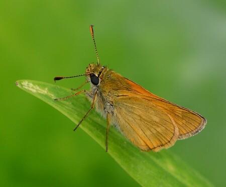 Dikkopje ( met koptelefoon) - Een dikkopje op een plantenstengel.Net of hij een koptelefoon draagt ! - foto door FocusV op 01-07-2019 - deze foto bevat: plant, natuur, vlinder, nachtvlinder, dikkopje