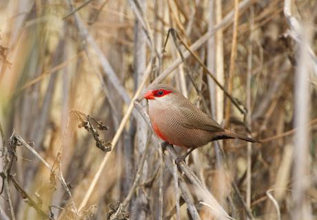 sint-helena-fazantje