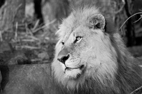 Ochtend leeuw