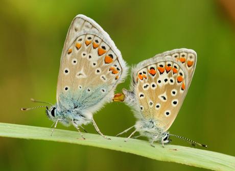 parende icarus blauwtjes