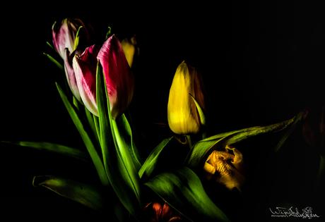 Flashing tulips 2