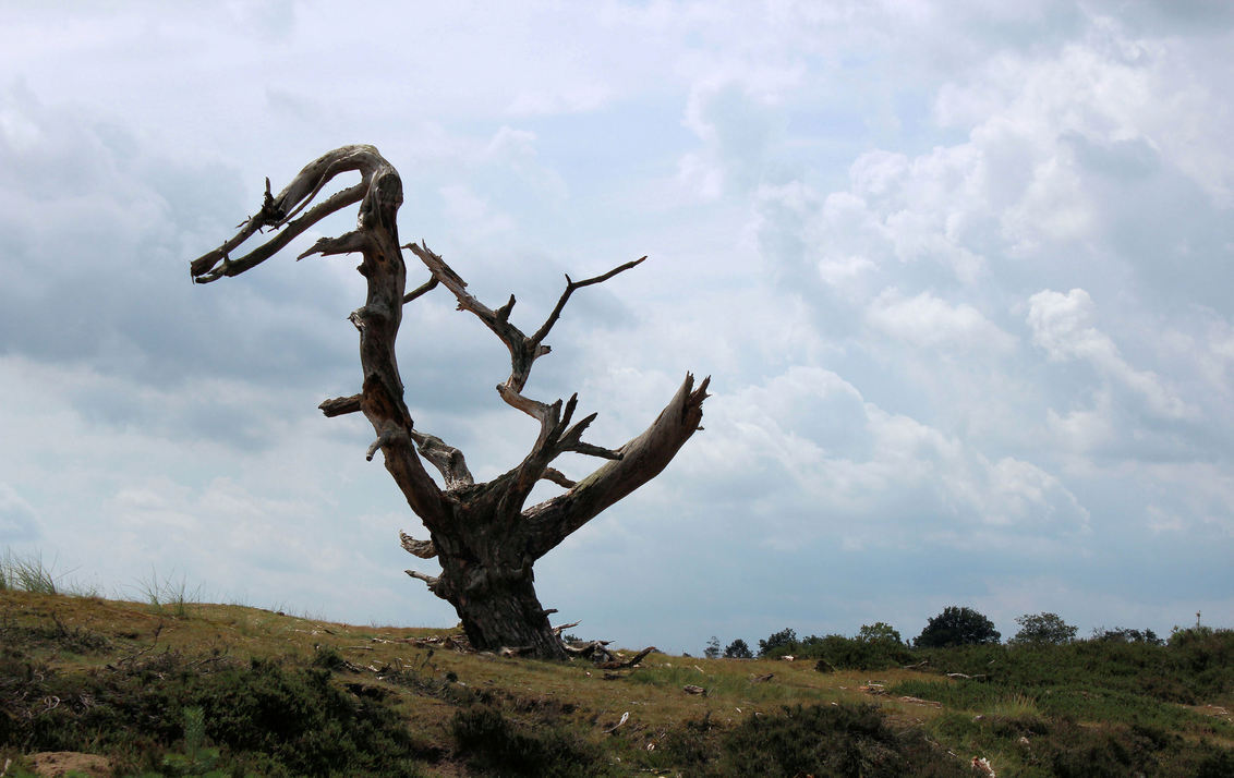dino boom - Kale Duinen (Aeckingerzand) bij Appelscha. Na de storm op 25 juli stond deze toch nog overeind. Als een soort van dino tegen de wolkenlucht afgeteken - foto door ljdrost op 26-07-2015 - deze foto bevat: wolkenlucht, ljdrost, kale duinen, kale boom, dino boom