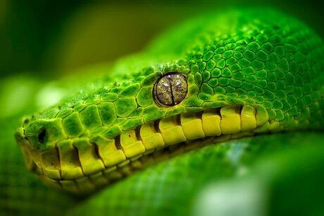 Groene boom Python