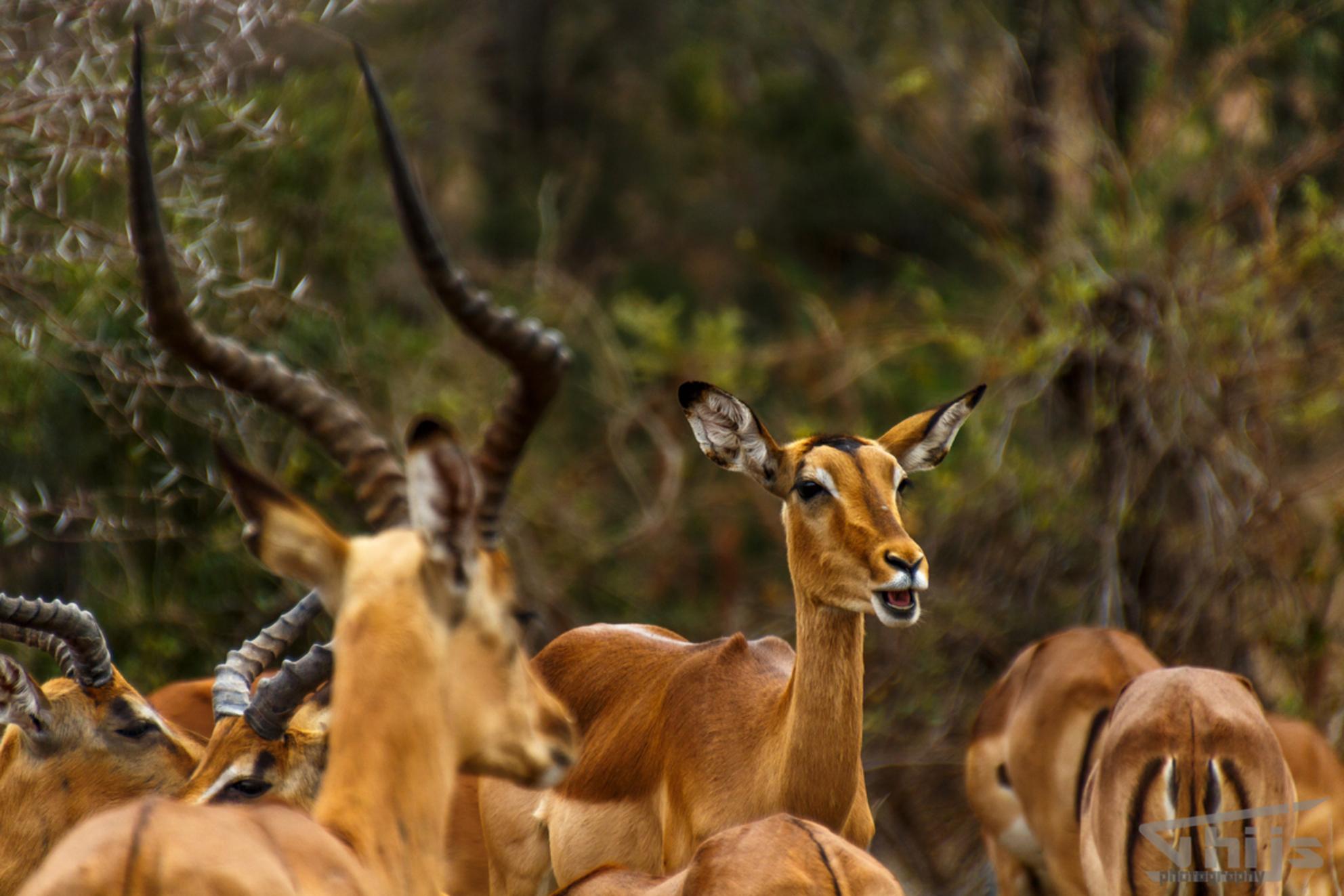 20160923_Impala_7694 - Impala ook wel de McDonalds of the bush omdat je ze overal ziet. - foto door thijsdegroot op 26-02-2017 - deze foto bevat: natuur, dieren, safari, ree, afrika, wildlife, mc donalds, impale