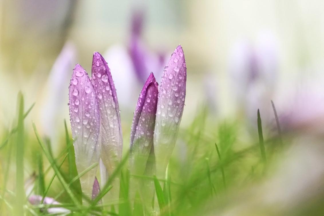 krokus - Het is een klein beetje voorjaar en de bloempjes komen uit de grond. Gemaakt in een afgelegen tuin in alle rust. De camera strak op de grond en door  - foto door gerbenhillebrand op 28-02-2017 - deze foto bevat: gras, groen, paars, macro, bloem, water, lente, natuur, druppel, winter, krokus, druppels, voorjaar, dof, gerben