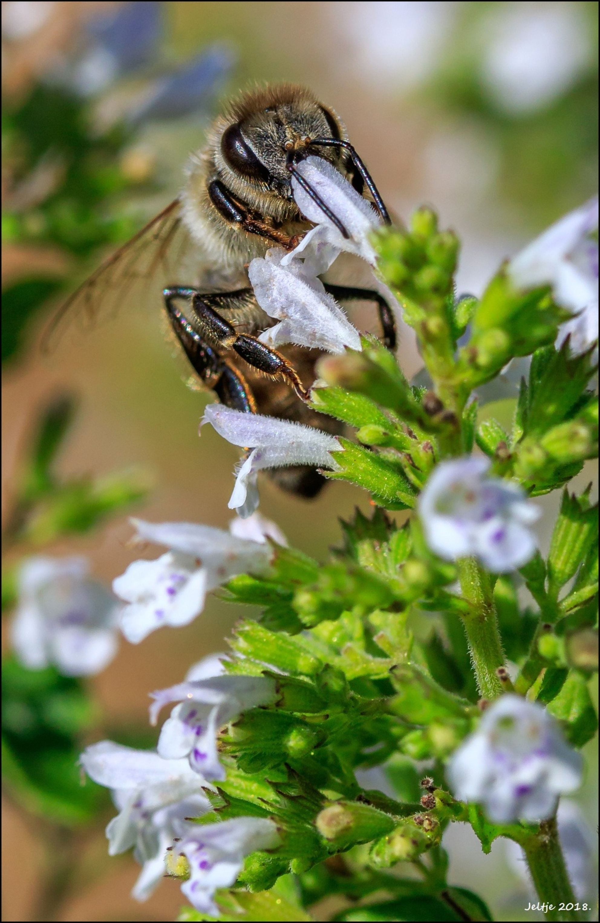 Honingbij. - - - foto door ikjel op 30-07-2018 - deze foto bevat: groen, macro, natuur, bij, zomer, insect, dof