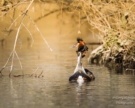 fuut - - - foto door hofman-c op 01-03-2021 - deze foto bevat: water, natuur, fuut, watervogel, wildlife