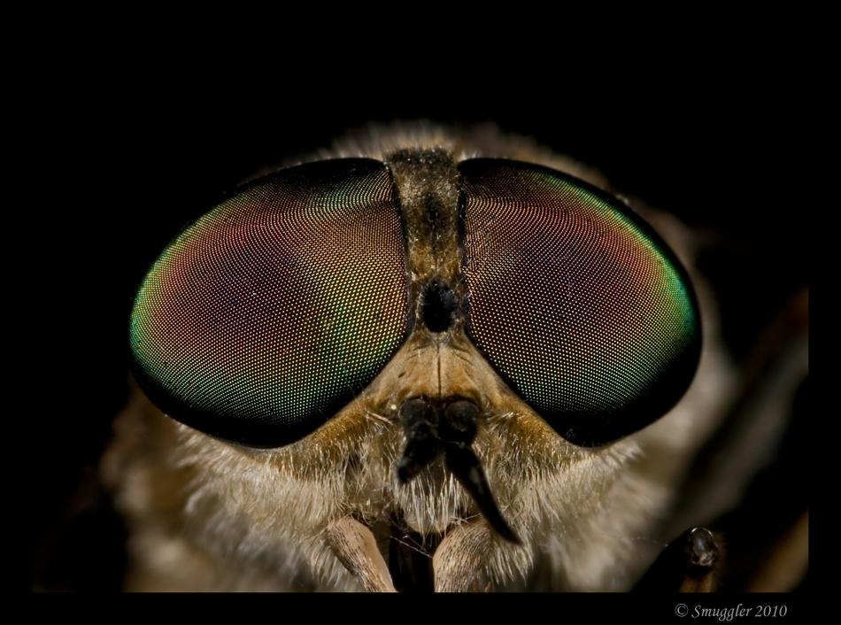 Paardenvlieg - Kijk eens in de poppetjes van z'n ogen... Dit is overigens een behoorlijke grote vlieg van zo'n 20-25 mm. De vrouwtjes drinken het bloed van paarde - foto door smuggler op 03-06-2010 - deze foto bevat: facetogen, paardenvlieg, smuggler, Tabanus sedeticus