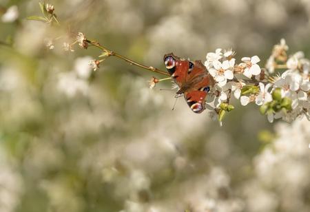 Op reis....! - Op reis door de wereld van de vlinders. Graag neem ik jullie mee in deze beleving. Eergisteren is wat mij betreft het nieuwe seizoen van start gegaan - foto door franspelzer op 31-03-2021 - deze foto bevat: rood, macro, lente, natuur, vlinder, dagpauwoog, sleedoorn, insect, franspelzer