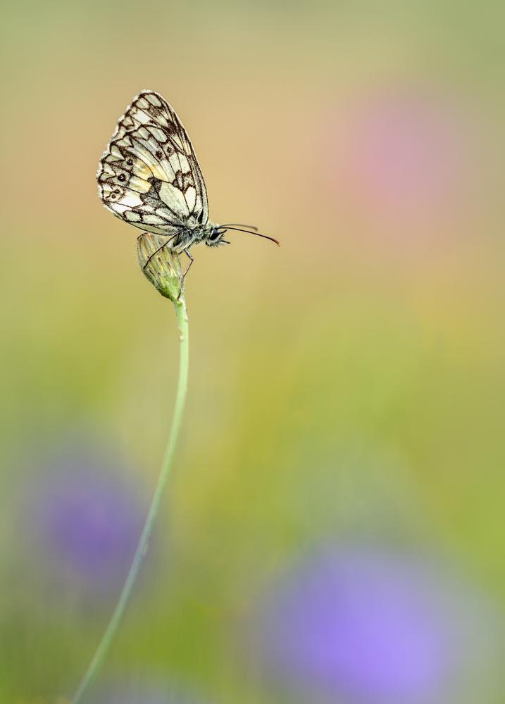 dambordje - in een bloemenveldje dit rustende vlindertje gespot.. - foto door MvanDijk op 29-07-2017 - deze foto bevat: roze, groen, paars, blauw, bloem, vlinder, geel, licht, libel, zomer, dof