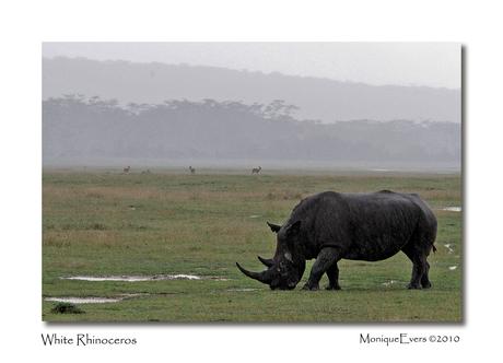 White Rhinoceros - Lake Nakuru 2