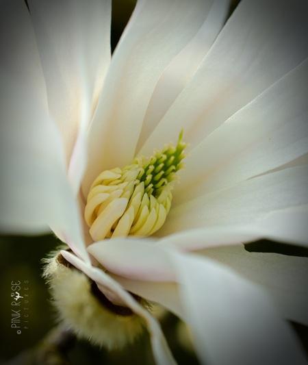 Home - Home Home is waar magnolia groeit...    Roller Coaster - Danny Vera - foto door PinkRosePictures op 04-04-2021 - deze foto bevat: macro, wit, natuur, magnolia, dof