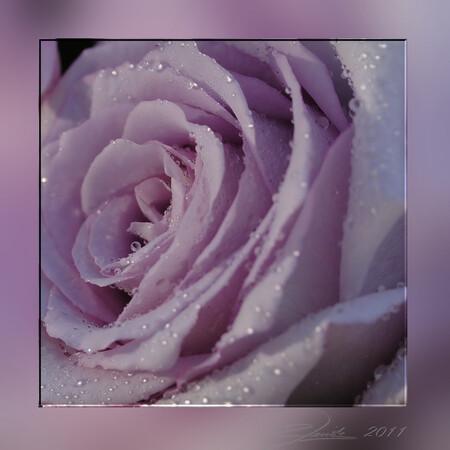 Drops - Roos in een vreemde kleur, hij is haast lila, had ik nog nooit eerder gezien. - foto door spitsoor op 30-09-2011 - deze foto bevat: roze, macro, bloem, roos, druppels, lila