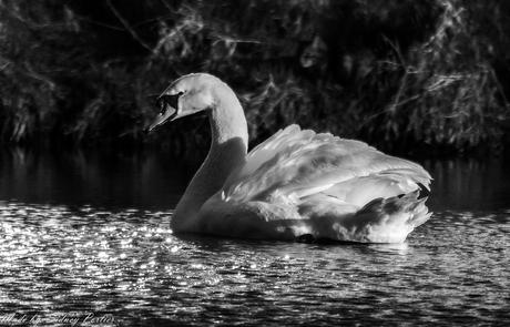 White Swan!