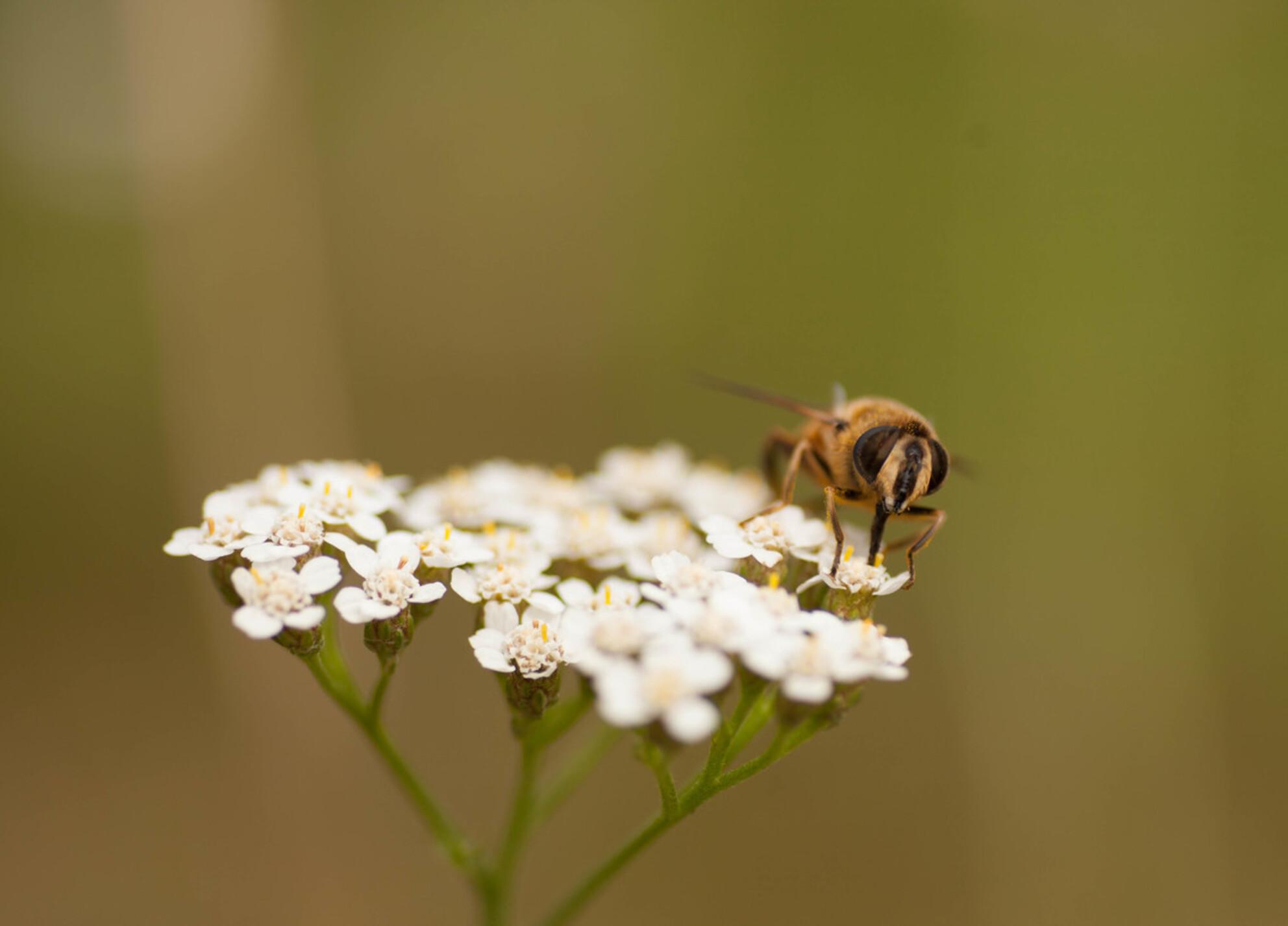 black and yelow - de zomer brengt ook deze mooie maar soms ook vervelende wezens met zich mee - foto door fotograaf19 op 30-06-2017 - deze foto bevat: macro, bloem, wesp, natuur, geel, zomer, insect, bokeh