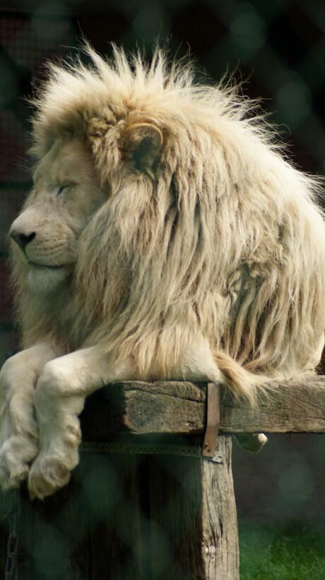 Ontspannen leeuw