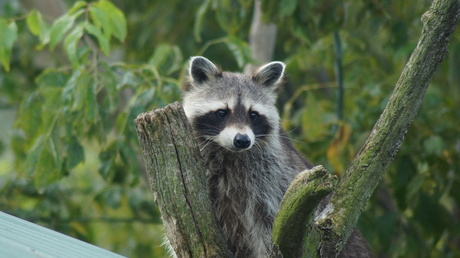 'Coon!