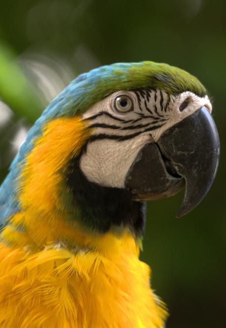 papegaai bali