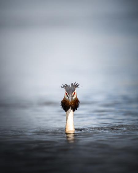 Fuut - - - foto door Hendrik1986 op 19-01-2021 - deze foto bevat: water, vogel, fuut, watervogel, wildlife