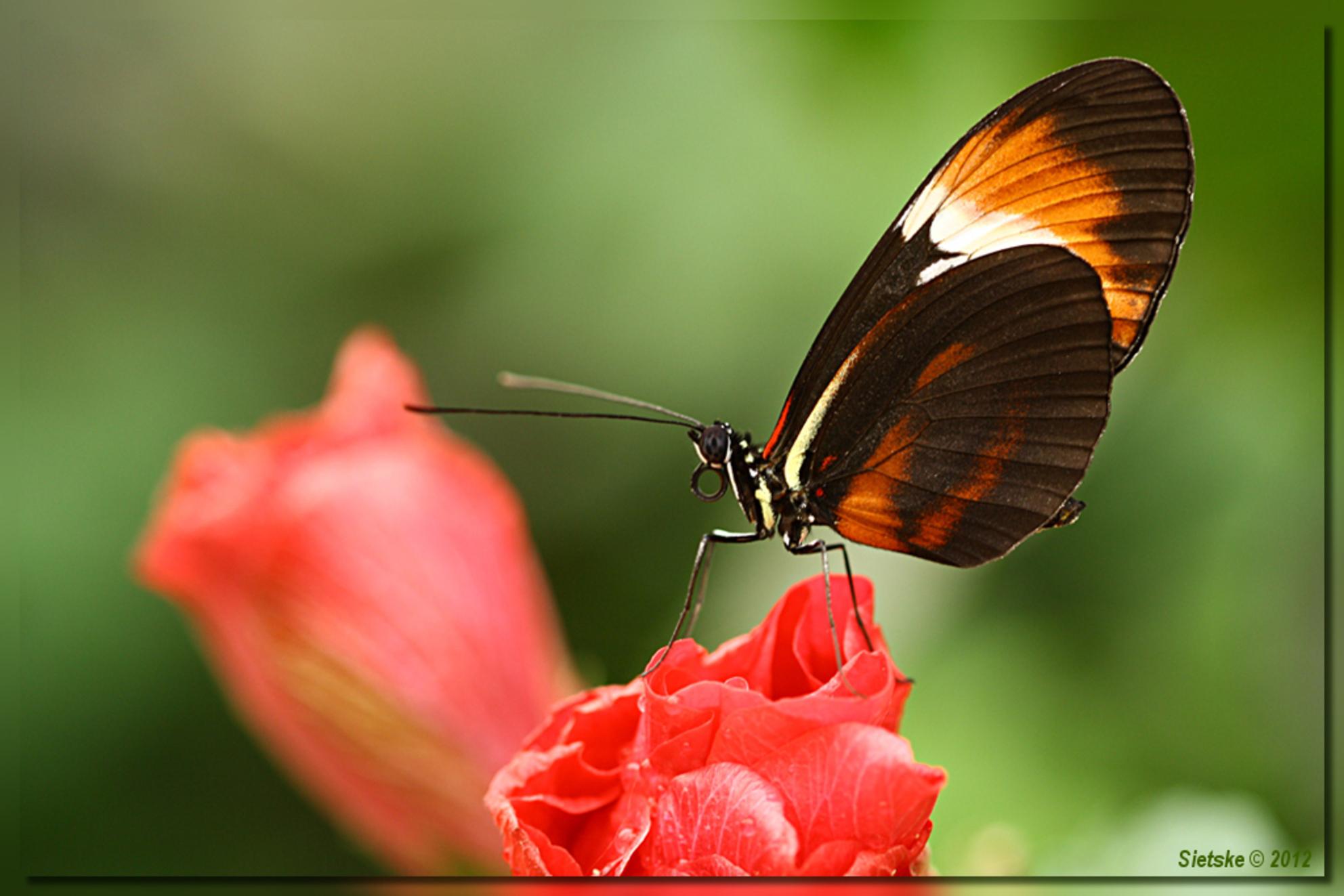 Passiebloemvlinder - Gister weer een dagje in de vlindervallei van de orchideëenhoeve doorgebracht en daar o.a. deze Passiebloemvlinder vastgelegd. - foto door SietskeH op 31-01-2012 - deze foto bevat: macro, vlinder, tropisch, vlindertuin, passiebloemvlinder, luttelgeest, orchideeenhoeve - Deze foto mag gebruikt worden in een Zoom.nl publicatie