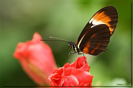Passiebloemvlinder - Gister weer een dagje in de vlindervallei van de orchideëenhoeve doorgebracht en daar o.a. deze Passiebloemvlinder vastgelegd. - foto door SietskeH op 31-01-2012 - deze foto bevat: macro, vlinder, tropisch, vlindertuin, passiebloemvlinder, luttelgeest, orchideeenhoeve