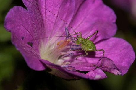 De nectar etende jonge sabelsprinkhaan.