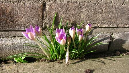 Voorjaar's Muur Crocus - Wat een doordouwer tussen de tegels met cement voegen komt hij toch bloeien - foto door Raymond44 op 23-03-2015 - deze foto bevat: groen, zon, bloem, lente, tulp, blad, voorjaar