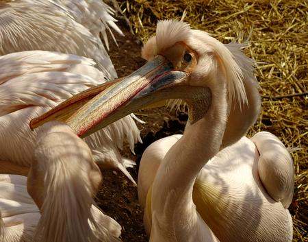 Bekvechten - Deze pelikanen waren zeer onrustig en vechterig. Ik denk dat de hormonen opspeelden. groetjes, Nel - foto door Nel Hoetmer op 31-03-2014 - deze foto bevat: dieren, artis, nel